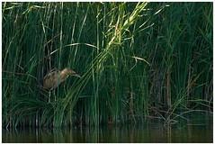 Bittern In Reeds. (vegetus aer) Tags: none woodwaltonfen greatfen greatfenproject wildlifetrust bcnwildlifetrust nnr cambridgeshire wildlife bittern