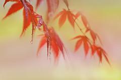 Fire and Rain (lfeng1014) Tags: fireandrain raindrops rain mapleleaves maple mapletrees redmaple macro macrophotography canon5dmarkiii 70200mmf28lisii depthoffield dof closeup bokeh lifeng japanesemaple