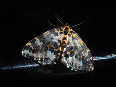 Moth in The Dark (Michael Brace) Tags: 2016 buterfliesmoths closeupmacro photography mab41 incompletestrobistinfo removedfromstrobistpool seerule2