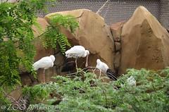 Afrikaanse lepelaar - Platalea alba - African spoonbill + zwarte ibis - Plegadis falcinellus - Glossy Ibis (MrTDiddy) Tags: afrikaanse lepelaar platalea alba african spoonbill zwarte ibis plegadis falcinellus glossy vogel ird zooantwerpen zoo antwerpen antwerp