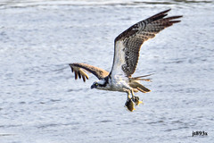 Osprey (grabs 2 fish) (jt893x) Tags: 150600mm bif bird d500 fish hawk jt893x nikon nikond500 osprey pandionhaliaetus raptor sigma sigma150600mmf563dgoshsms specanimal