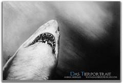 Big white shark (dastierportrait) Tags: shark drawing animal das tierportrait saskia tierzeichnungen auftragsmalerei