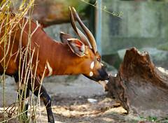 Bongo (VirtualWolf) Tags: animal australia bokeh bongo canonef135mmf2lusm canoneos7d equipment mammal mosman newsouthwales places sydney tarongazoo techniques wildlife
