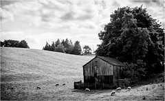 Teesdale . (wayman2011) Tags: canon50d lightroom wayman2011 bwlandscapes mono trees oldbarns sheep pennines dales teesdale countydurham uk