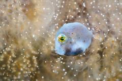 Blue pea (Christian Gloor (mostly) underwater photographer) Tags: bonyfish pygmy leatherjacket brachaluteres taylori underwater diving macro nauticam olympus omd em5 lembeh indonesia sulawesi