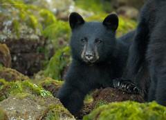 Black Bear Cub (www.jessfindlay.com) Tags: ursusamericanus blackbear bear baby babybear bearcub wildlife wildlifephotography wilderness vancouver vancouverisland jessfindlay jessfindlayphotography wwwjessfindlaycom nature naturephotography