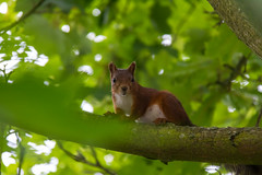 Hiding in a tree (Infomastern) Tags: lund animal djur ekorre squirrel exif:model=canoneos760d geocountry exif:isospeed=1600 camera:make=canon geocity camera:model=canoneos760d geostate geolocation exif:lens=efs18200mmf3556is exif:aperture=56 exif:focallength=200mm exif:make=canon