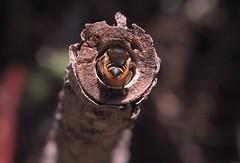 1/7 Supersedure - M.centuncularis (el.gritche) Tags: hymenoptera france 40 garden megachilidae megachile centuncularis female nest hoplitistridentata supersedure behavior larva hoplitis