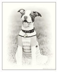 Rorschack the Pitbull Pup - Outside Portrait Study (2) (GAPHIKER) Tags: smile lawn pitbull pup puppy inkblot dog vintage rorschach