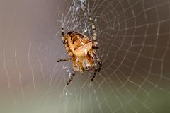 Shelob (@richlewis) Tags: fujifilmxt1 fujinonxf90mmf2rlmwr fujifilmmcex11 fujifilmmcex16 fujinonteleconverterxf14xtcwr marumidhgachromatmacro200 venusopticsmacrotwinflashkx800 canterbury kent insect spider web macro extensiontube