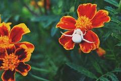 D (elleiriem) Tags: nature natura dettagli cose ragno bianco verde