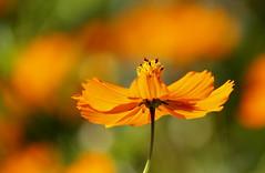 Orange Cosmos Flower (maria xenou~photodromos~) Tags: flower orange cosmea garten garden macro makro massage cosmos sunlight sonnenlicht greece sunnyday bloom natureart earthnaturelife nature natur colours farben mediterranean mittelmeer moments momente griechenland ελλαδα μεσογειοσ κοσμοσ λουλουδι χρωματα φωσηλιου φυσικοπεριβαλλον φυτο φυση τελειαφυση ανθοσ πορτοκαλι πρασινο θολο canoneos1100d mariaxenou plant loveliness kosmos welt world μυρωδιεσ ηχοι αισθησεισ φωτοδρομοσ