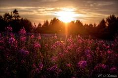 150728-05 Couleurs divines (clamato39) Tags: lvis provincedequbec qubec canada coucherdesoleil sunset sun soleil ciel sky champ field fleur flower
