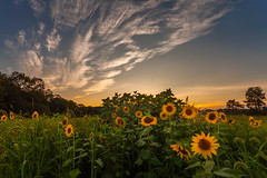 stole one just for you  (kaising_fung) Tags: sunflowers field sunset warm clouds