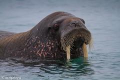 Morsa, Atlantic Walrus (Odobenus rosmarus rosmarus) (Corriplaya) Tags: corriplaya mamiferos morsa atlanticwalrus odobenusrosmarusrosmarus