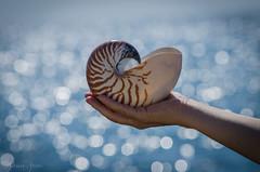 27 settembre 2016. Nautilus (adrianaaprati) Tags: mare sea shell conchiglia coquille schale bokeh mer meer calma allaperto sfocato blur nautilus italy