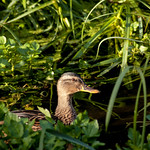 mallard in the greenery