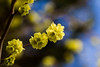 Spring (CecilieSonstebyPhotography) Tags: flowers blue trees flower tree yellow oslo canon bokeh outdoor ngc npc canoneos ef100mm macro100mm canon60d canoneos60d 100commentgroup
