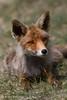 Young fox posing (Alex Verweij) Tags: wild nature natuur fox netherland pup 1001nights foxes vos redfox vulpus alexverweij