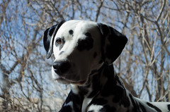 Potter (Hard Lighting) (C-Dals) Tags: portrait sky dog nikon nikkor dalmatian hardlight 1855mmf3556gvr d5100 highqualitydogs tp166