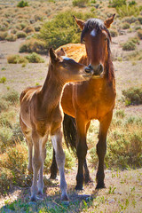Nuzzling (James Marvin Phelps) Tags: wild horse animal print poster photography mare desert wildlife nevada hdr stallion wildhorse foal clarkcounty springmountains coldcreek mandj98 jmpphotography jamesmarvinphelps