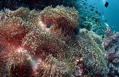 anem9303 (gerb) Tags: fish topv111 510fav topv333 underwater scuba fisheye anemone diver domino anemonefish similan tvp softcoral aquatica d7000 sigma1017fe