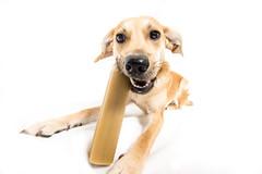 _DSC7163PS (tobi96) Tags: dog white golden funny retriever hund lustig bone mischling pfote weitwinkel knochen weis uww süs schnautze