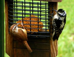 The Stare Down (ChicaD58) Tags: bird nature garden outdoors spring backyard woodpecker downywoodpecker feeder wren drama staredown smallbirds carolinawren standoff suetfeeder