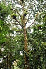 Monteverde (Bigeyesworld) Tags: tree nature forest moss costarica monteverde bromeliad