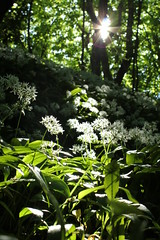 Spotlight (Pelham 123) Tags: wood light sunlight white green nature flare preston ransoms