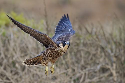 Peregrine Falcon Talons Young Female Peregrine Falcon