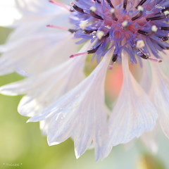 Summer feelings (*Twinkel*'s photostream) Tags: sun sunlight dof wit cornflower korenbloem justcropped sooc zouitdecamera