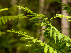 Floating (Wicked Dark Photography) Tags: fern green nature leaves closeup forest woods flora nh ferns om90mmf2macro