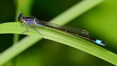 Große Pechlibelle (Ischnura Elegans) 9287 (fotoflick65) Tags: closeup bug insect iso200 dragonfly 169 libelle insekt damselfly f11 elegans odonata zygoptera ischnura kleinlibelle schlanklibelle fl200 st40 tamronspaf70200mmf28dildifmacro d7000 grosepechlibelle y2012 fl150200 st2550 fotoflick65 ta70200 ym06