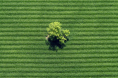 Single Tree (Aerial Photography) Tags: tree verde green by corn cornfield linie feld wm aerial line mais grn parallel baum singletree streifen luftbild luftaufnahme obb einzelbaum maisfeld iffeldorf 07072003 fotoklausleidorfwwwleidorfde staltach s2p16830