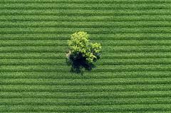 Single Tree (Aerial Photography) Tags: tree verde green by corn cornfield linie feld wm aerial line mais grn parallel baum singletree streifen luftbild luftaufnahme obb einzelbaum maisfeld iffeldorf 07072003 fotoklausleidorfwwwleidorfde staltach s2p16830