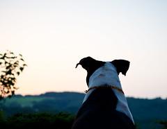 Phoenix of the Sunset (Brett Ritzmann) Tags: sunset dog phoenix nikon 40mm nikkor f28 iso640 d7000 flickrunited flickrunitedaward