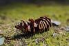 Käpy (MikeAncient) Tags: summer plant nature suomi finland moss dof bokeh depthoffield kasvi kesä luonto shallowdepthoffield narrowdepthoffield sammal käpy sprucecone kuusenkäpy kapeasyväterävyys