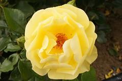 rose jaune 9 (laurentmorand) Tags: orange flower macro nature fleur jaune plante garden photo jardin vert printemps vegetal annemasse morand