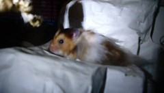 Hanging out (jellybaby86) Tags: pet cute hamster satin rex syrian floofy longhaired dandydisy