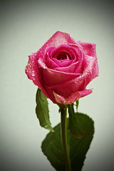 Drop`s on pink (lulahbubb) Tags: pink green water leaves rose droplets petals stem