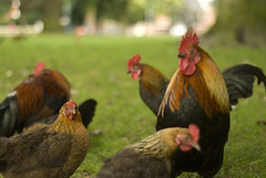roosters (Arnoooo) Tags: bunch rooster breda parc