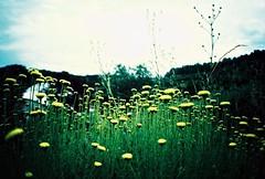 Summer Smile (Cloni) Tags: green film nature yellow lomo xpro lomography crossprocessed cornwall slidefilm crossprocessing agfa agfaprecisa xprocessing precisa analouge