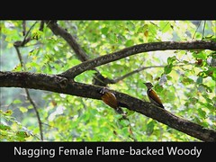 Naggy Lady (Ronald_Yip) Tags: woodpecker flamebacked