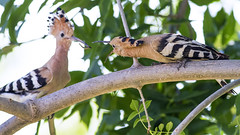 Feeding time for young Hoopoe (Panayotis1) Tags: nature birds canon aves greece usm f56 ef upupaepops hoopoe animalia 400mm chordata   upupidae coraciiformes imathia aggelochori    irinoupoli