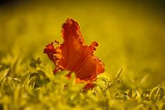 Imagination (Sandeep Santra) Tags: morning trees plants india flower macro nature colors yellow closeup canon photography eos bush details experiment photograph imagination orrange 500d andhrapradesh incredibleindia efs55250mmf456is mygearandme sandeepsantra