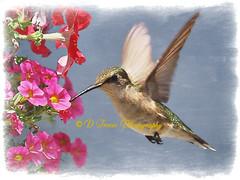 IMG_2036_WM (Denise Trocio (D Trocio Photography)) Tags: flowers bird texture nature canon outdoors hummingbird allrightsreserved birdinflight canon7d dtrociophotography