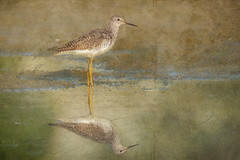 The Philip's Lesser yellowlegs (Nancy Violeta Velez) Tags: texture birds photography interesting flickr aves animalia tinga motat lesseryellowlegs tringaflavipes charadriiformes chordata tatot phillipdunn frenchkissbrushes paintset4 phiddy1birdsintexture thephilipslesseryellowlegs mediumsizedshorebird scolopopacidae paintset5 shadowhousecraetionspaintset