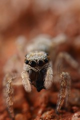Springspin/Jumping spider (stormchaseroosteeklo) Tags: macro nature closeup spider focus spin extreme natuur jumpingspider springspin mygearandme unlimitedinsectslevel1 unlimitedinsectslevel2