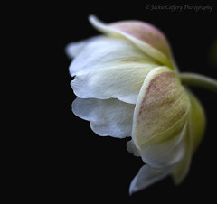 Flower (pixiepic's) Tags: white flower macro petals delicate platinumheartaward awesomeblossoms